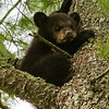Image of one of Dot's three cubs taken April 2012.  It's not the best image but the only one I have so far of the cubs.   The cubs were born in 2012. Ursus americanus (American Black Bear).