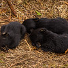 Image of Juliet's three cub's resting after nursing taken March 2012 just after leaving the den.  The cubs are still too small to travel far but water has forced them out of the den.     Ursus americanus (American Black Bear).