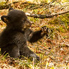 Image of Juliet's cub  tasting a bud taken April 2012.  Juliet was born in 2003 and her cubs in January 2012.   Ursus americanus (American Black Bear).