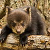 Image of Juliet's cub Sybil taken April 2012.  Juliet was born in 2003 and her cubs in January 2012.   Ursus americanus (American Black Bear).