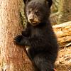Image of Juliet's cub Sophie taken April 2012.  Juliet was born in 2003 and her cubs in January 2012.   Ursus americanus (American Black Bear).