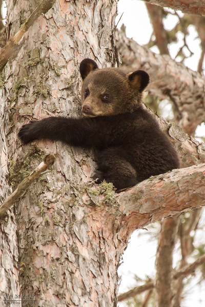 Image of Lily's cub Ellie taken a few days after leaving their den in April 2013.  Cubs Eli and Ellie were born in 2013 and Llily was born in 2007. Ursus americanus (American Black Bear).