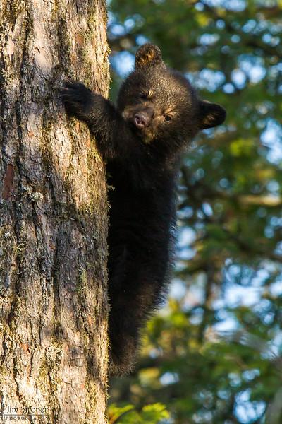 Image of Jewel's male cub Herbie climbing down a white pine taken April 2012.  Herbie was born in January 2012. Ursus americanus (American Black Bear).
