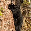 Image of one of Juliet's three cub's taken April 2012. The cubs were born in January 2012.    Ursus americanus (American Black Bear).