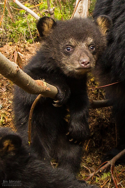 Image of Juliet's female cub taken April 2012.  The cubs were born in January 2012.   Ursus americanus (American Black Bear).