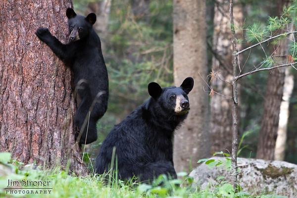 Shadow's Clan - Black Bears
