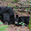 Image of June and her female cub Aster resting together while her shy male cub Aspen rests near by.   Taken July 2011.  Aster was born January 2011 along with her brother Aspen.  Ursus americanus (American Black Bear).