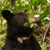 Image of Aster eating aspen leaves taken late May 2012.  Aster was born in 2011. Ursus americanus (American Black Bear).