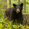 Image of Aster resting by a stump taken late May 2012.  Aster was born in 2011. Ursus americanus (American Black Bear).