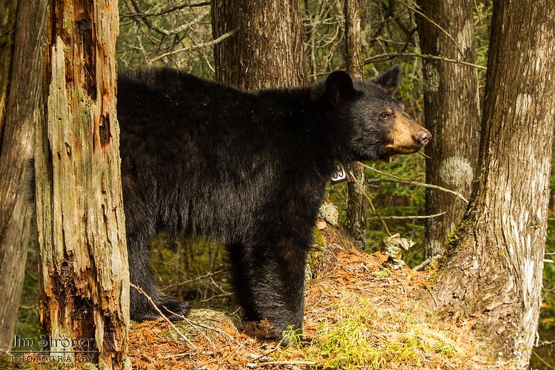 Image of Aster taken April 2012. Aster was born in 2011. Ursus americanus (American Black Bear).