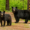 Image of June and yearling Aster taken late May 2012.  June was born in 2001 and Aster in 2011. Ursus americanus (American Black Bear).