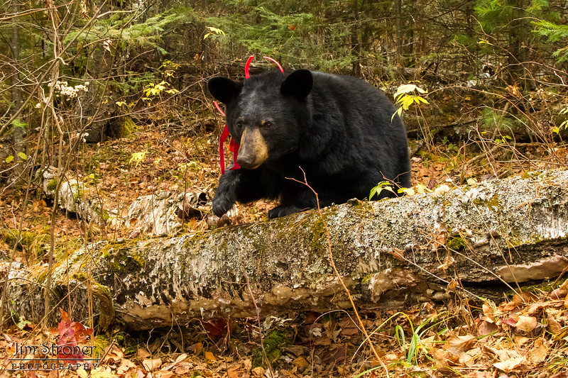 Image of Aster October 2012 near her den.  Aster was born in 2011. Ursus americanus (American Black Bear).