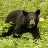 Image of Aster taken late May 2012.  Aster was born in 2011. Ursus americanus (American Black Bear).
