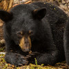 Image of Aster playing with a stick taken late March 2012.  Aster was born in January 2011. Ursus americanus (American Black Bear).
