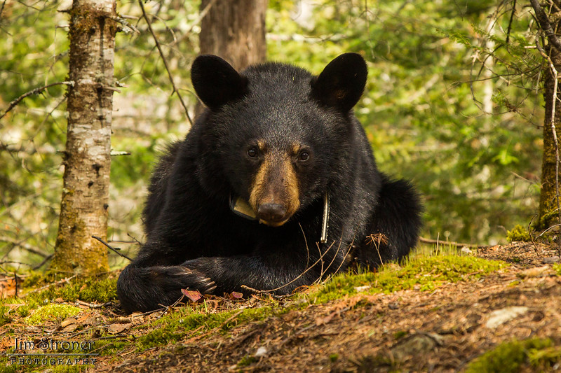 Image of Aster resting taken April 2012. Aster was born in 2011. Ursus americanus (American Black Bear).