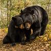 Image of June and Aster taken April 2012. June was born in 2001 and daughter Aster in 2011. Ursus americanus (American Black Bear).