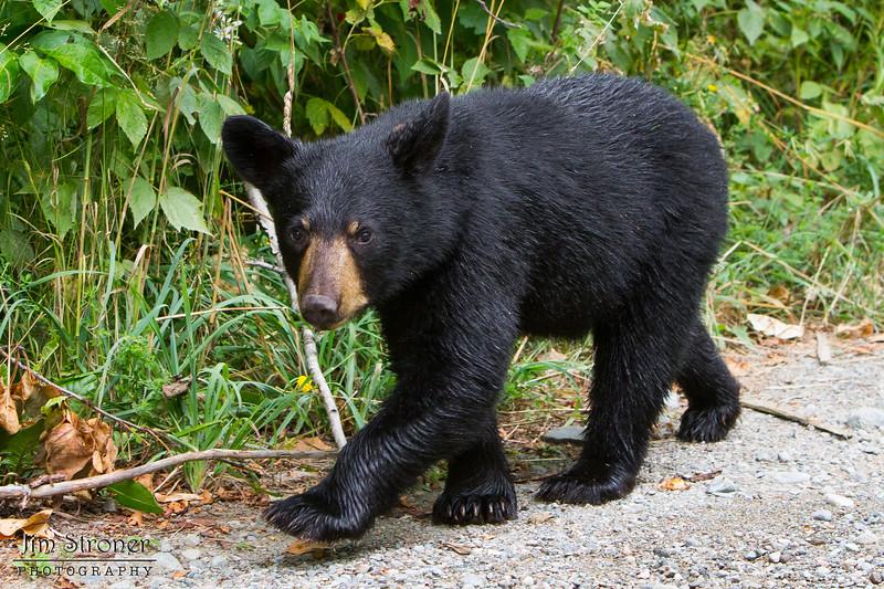 Image of June's female cub Aster taken August 2011. Aster was born in January 2011. Ursus americanus (American Black Bear).