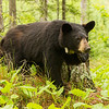 Image of Aster resting on a stump taken late May 2012.  Aster was born in 2011. Ursus americanus (American Black Bear).