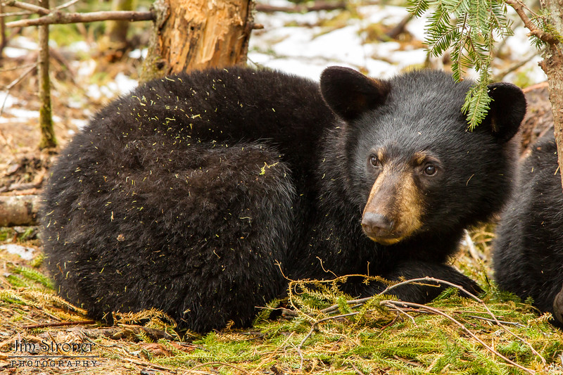 Image of Aster restng taken late March 2012.  Aster was born in January 2011. Ursus americanus (American Black Bear).
