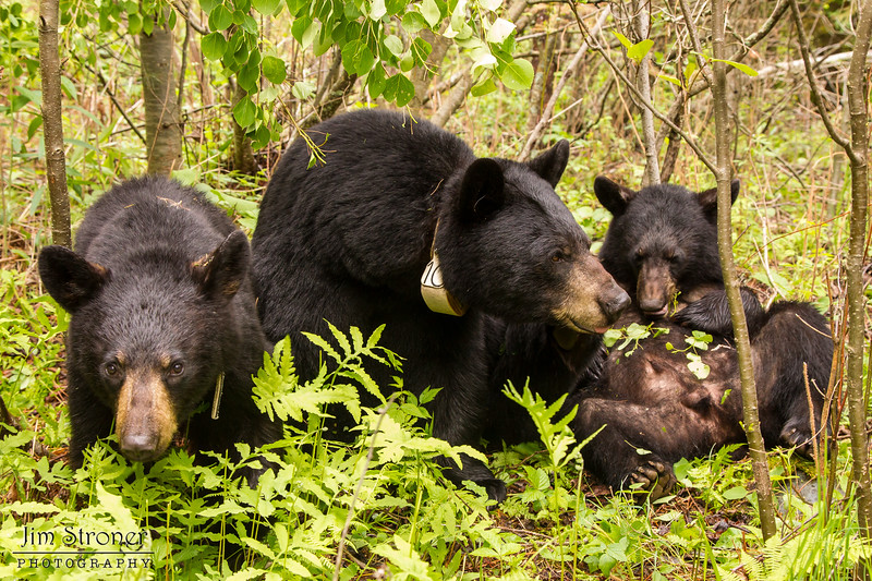 Image of June, Aster and Aspen eating Aspen leaves taken late May 2012.  June was born in 2001 and the yearlings in 2011. Ursus americanus (American Black Bear).