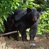 Image of Baby Devil cub taken August 2011.   Cub was born in 2011.  Ursus americanus (American Black Bear).