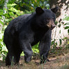 Image of Baby Devil cub taken August 2011.   Cub was born in 2011.  Ursus americanus (American Black Bear).