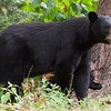 Image of Baby Devil taken August 2011.   Baby Devil was born in 2007.  Ursus americanus (American Black Bear).