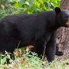 Image of Baby Devil taken August 2011.   Baby Devil was born in 2007.  Ursus americanus (American Black Bear).