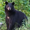 Image of Bow taken July 2011. Bow was born in 2006. Ursus americanus (American Black Bear).