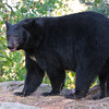 Image of Bow taken September 2011. Bow was born in 2006. Ursus americanus (American Black Bear).