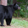 Image of Bow on lookout while her cubs play nearby taken August 2011. Bow was born in 2006. Ursus americanus (American Black Bear).