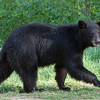 Image of Bow taken May 2010. Bow was born in 2006. Ursus americanus (American Black Bear).