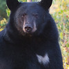 Image of Bow taken September 2011. In this image you can really see how she got her name from her chest blaze.  Bow was born in 2006.  Ursus americanus (American Black Bear).