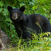 Image of one of Bow's two cubs taken August 2013. Bow was born in 2006 and the cubs in 2013. Ursus americanus (American Black Bear).