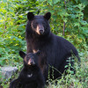 Image of Bow and her female cub Daisy taken July 2011. Bow was born in 2006 and her cubs Drew and Daisy in 2011. Ursus americanus (American Black Bear).