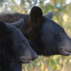 Image of Bow and one of her cubs taken September 2011. Bow was born in 2006 and her cub in 2011.   Ursus americanus (American Black Bear).
