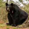 Image of Braveheart taken late April 2012.  Braveheart was born in 2002. Ursus americanus (American Black Bear).