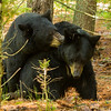 Image of Braveheart and unknown male taken during mating season late May 2012. Braveheart was born in 2002. Ursus americanus (American Black Bear).