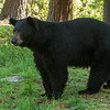 Image of unknown male who later in the morning mated with Braveheart taken late May 2012.  The male appeared to be 3-4 years old.  Ursus americanus (American Black Bear).