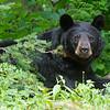 Image of Braveheart  taken July 2011. Braveheart was born in 2002. Ursus americanus (American Black Bear).