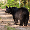 Image of Braveheart  on a logging road taken May 2012.  Braveheart was born in 2002. Ursus americanus (American Black Bear).