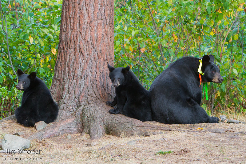 Image of Braveheart and two of her three cubs taking September 2011. Braveheart was born in 2002 and is decorated with colorful ribbons to help identity her as a collared research bear during hunting season. Ursus americanus (American Black Bear).