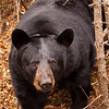 Image of Braveheart outside her temporary den taken October 2010. Braveheart was born in 2002. Ursus americanus (American Black Bear).