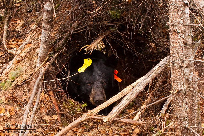 Image of Braveheart in her temporary den taken October 2010. Braveheart was born in 2002. Ursus americanus (American Black Bear).