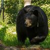 Image of Braveheart taken late May 2012. Braveheart was born in 2002. Ursus americanus (American Black Bear).