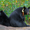 Image of Braveheart and one of her three cubs taking September 2011. Braveheart was born in 2002 and is decorated with colorful ribbons to help identity her as a collared research bear during hunting season. Ursus americanus (American Black Bear).