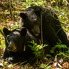Image of Braveheart with unknown male taken during mating season late May 2012.  Braveheart was born in 2002. Ursus americanus (American Black Bear).