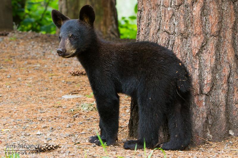 Image of Braveheart's cub taken July 2011. The cub was born in 2011. Ursus americanus (American Black Bear).