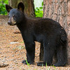 Image of Braveheart's cub taken July 2011. The cub was born in 2011. Ursus americanus (American Black Bear).