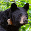 Image of Braveheart taken July 2011. Braveheart was born in 2002. Ursus americanus (American Black Bear).